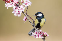 Great Tit on Cherry Blossom