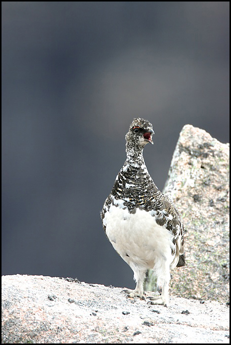 Ptarmigan Summer Plumage