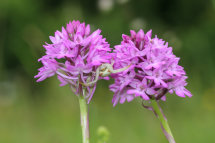Pyramidal Orchid and Crab Spider