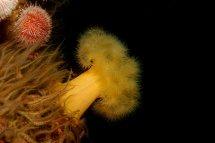 Plumose Anemone - St Abbs