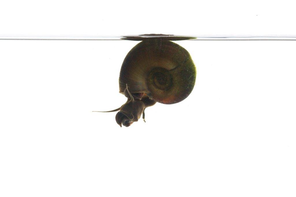 Rams Horn Snail