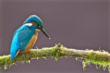 Kingfisher Male