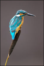 Kingfisher Male - Reedmace