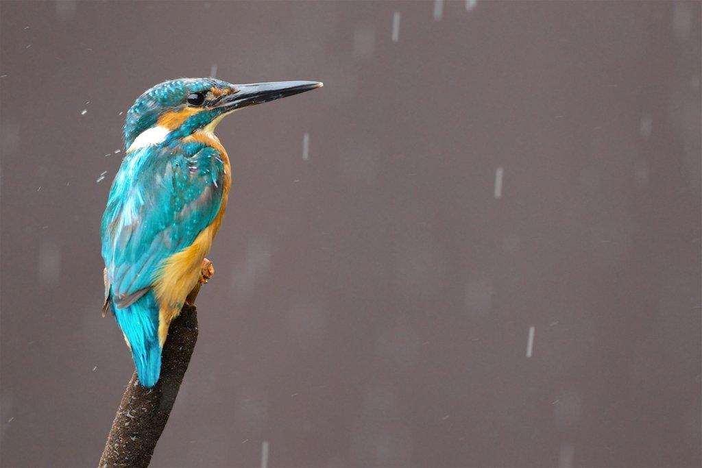 Kingfisher Male - Reedmace