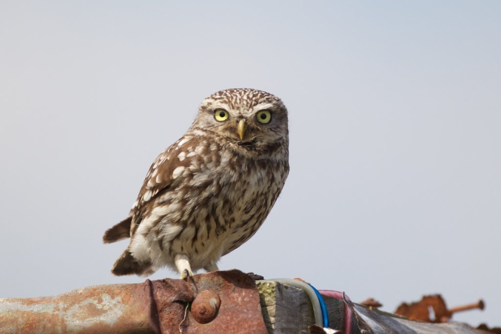 Little Owl - Romney Marsh