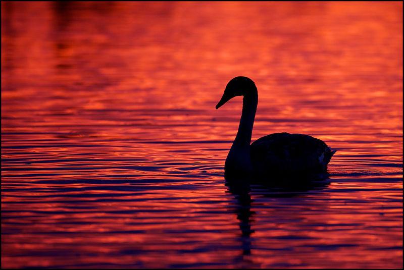 Mute Swan at Sunset - Welney