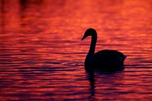 Mute Swan at Sunset - Welney
