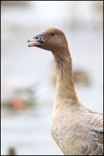 Pink-footed Goose at a Welney Swan Feed.