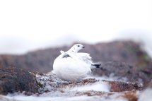 Ptarmigan Winter Plumage