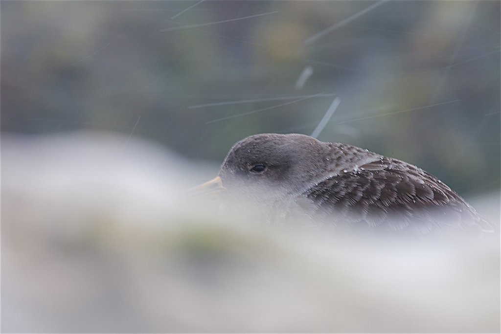 Purple Sandpiper in the Snow