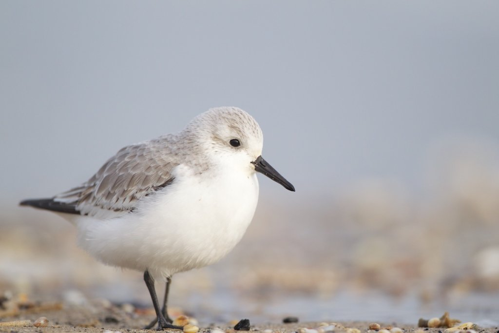Sanderling - Adult Winter Plumage