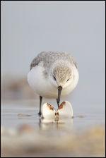 Sanderling - Adult Winter Plumage