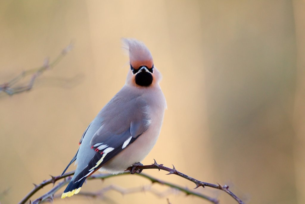 Waxwing - Tesco Car Park!