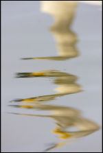 Whooper Refection