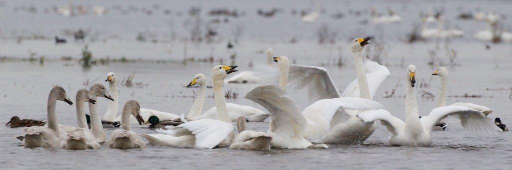 Whooper Swans at WWT Welney