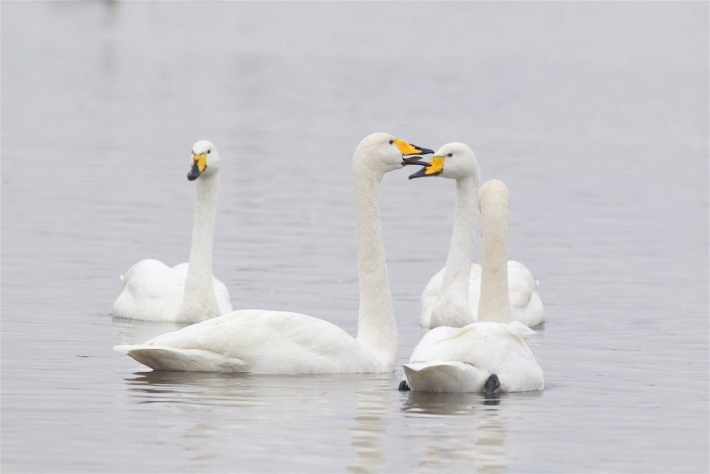 Whooper Swans at WWT Welney