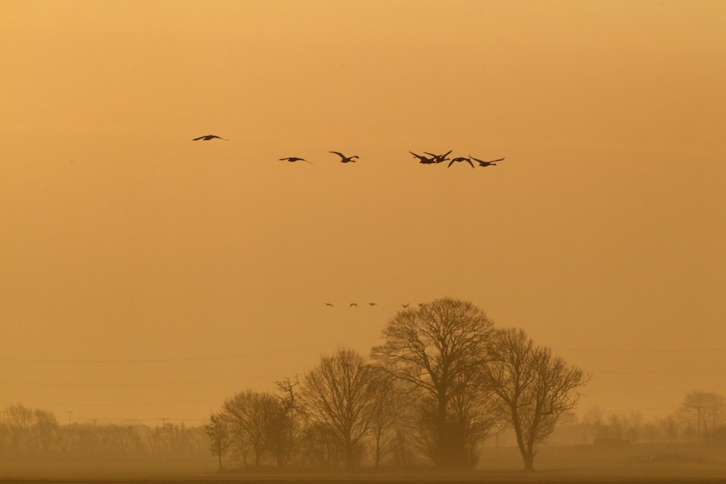 Whoopers - Dawn Landscape