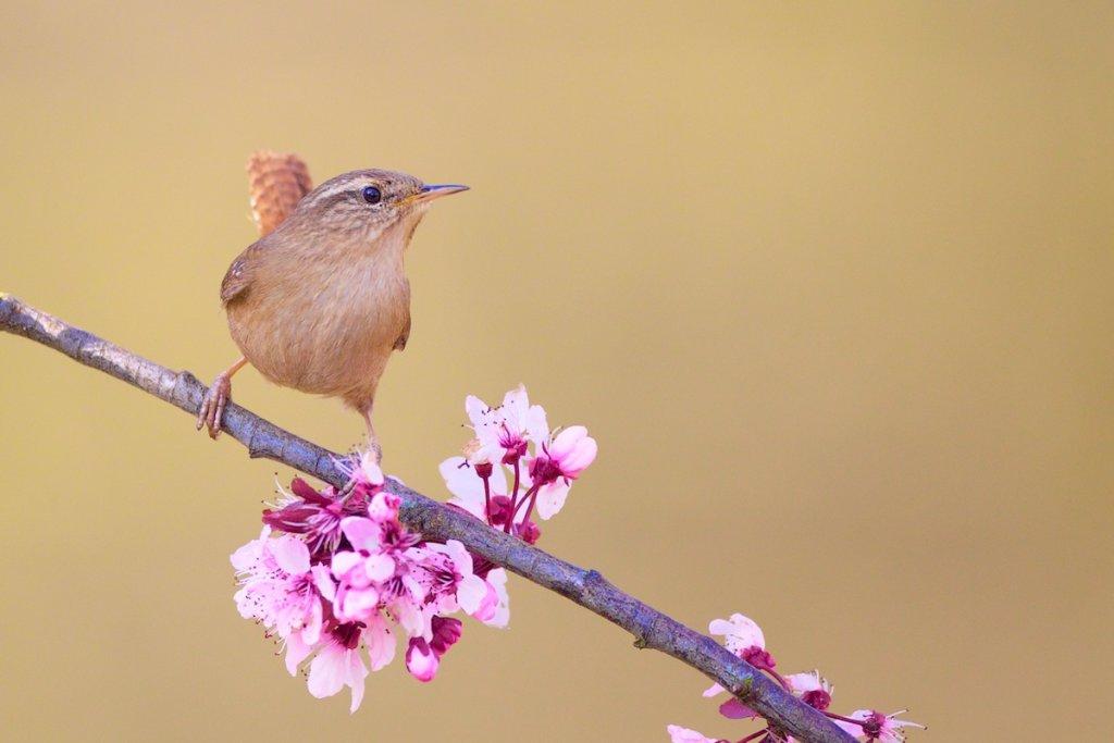 Wren on Cherry Blossom