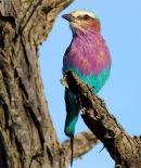 African Lilac Breasted Roller