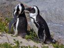 African Penguins Preening