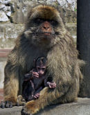 Mature Female Barbary Ape with Infant