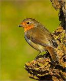 Perky Robin