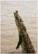 Young Salt Water Crocodile jumping for Prey