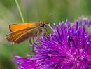 Small Skipper on wild flower
