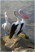South Australian Pelicans