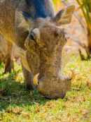 Portrait of a Wart Hog