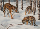Amur Tigers in The Snow