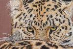 Amur Leopard Eyes