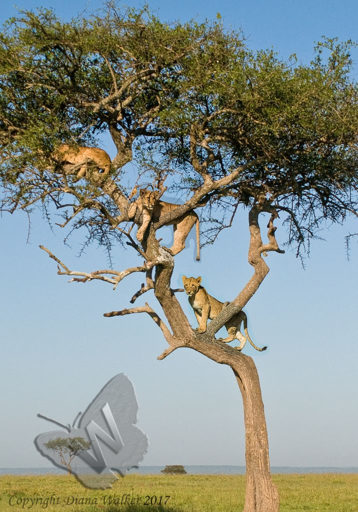 Lions in the Tree