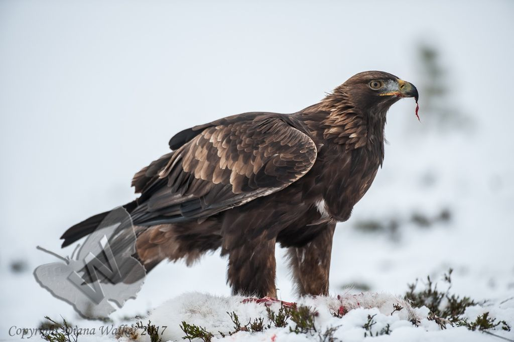 Golden Eagle at Aviemore