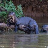 Pantanal 2016 - Andy Barnes-11