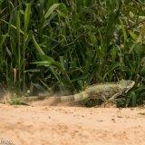 Pantanal 2016 - Andy Barnes-25