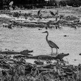 Pantanal 2016 - Andy Barnes-2