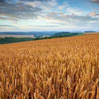 Golden Cornfield