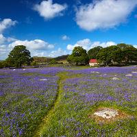Moorland Bluebells