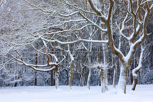 Snow Covered Woodland