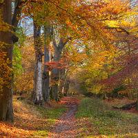 Autumnal Beech Woodland.