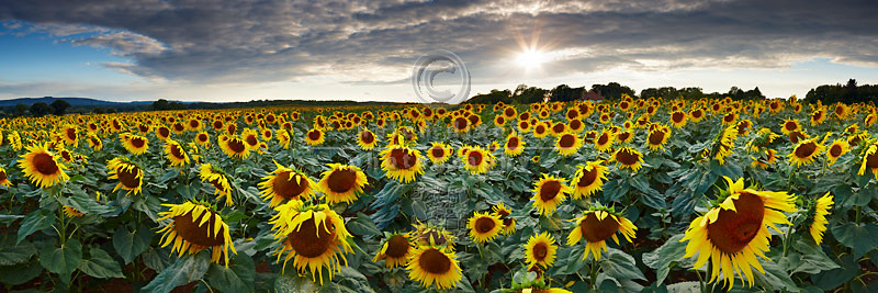 Sunflower Field Sussex