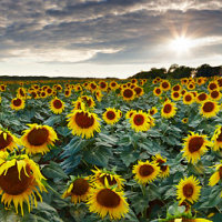 Sunflower Field Sussex