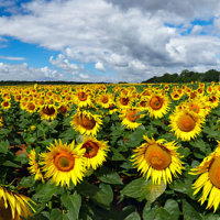 Sunflower Field Panoramic