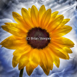 Misty Sunflower