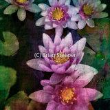 Pond Lily 3