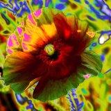 Psychedelic Poppy