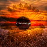 Sunflower Rising 2