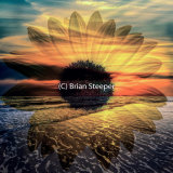 Sunflower Rising 1