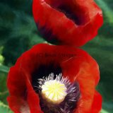 Two Siberian Poppies